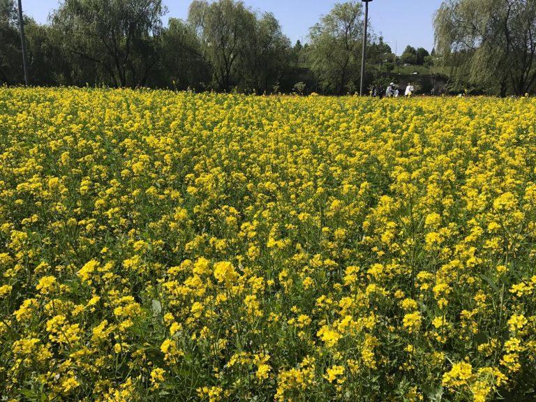 首爾自由行-韓國自由行-韓國旅遊-首爾景點-韓國機票-盤浦島上一大片草地也變成金黃色的油菜花田非常漂亮