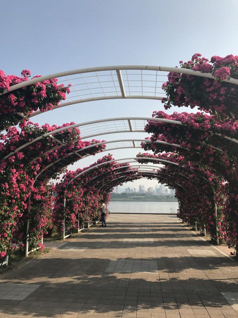 首爾自由行-韓國自由行-韓國旅遊-首爾景點-韓國機票-玫瑰盛放的時節