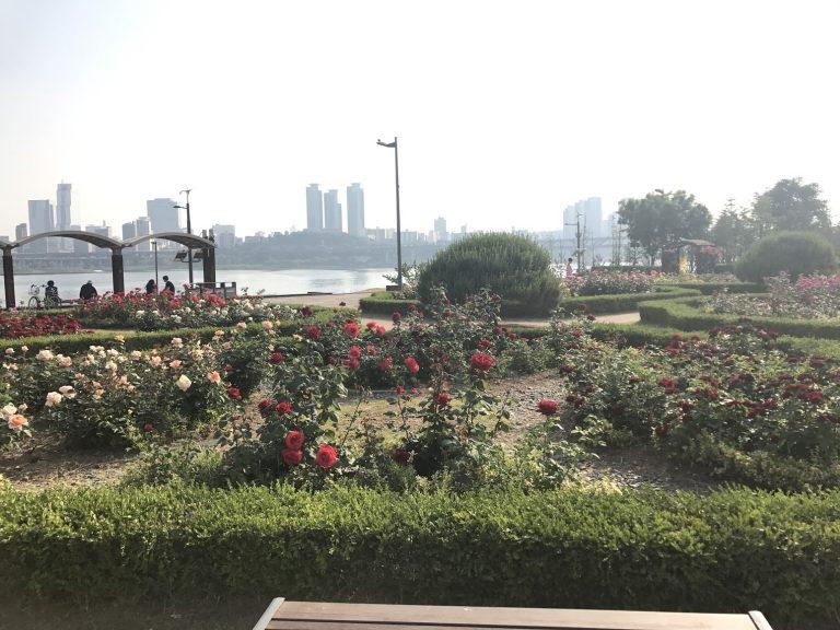 首爾自由行-韓國自由行-韓國旅遊-首爾景點-韓國機票-四處也是盛放的玫瑰以玫瑰作背景去拍照真的好不美麗呢