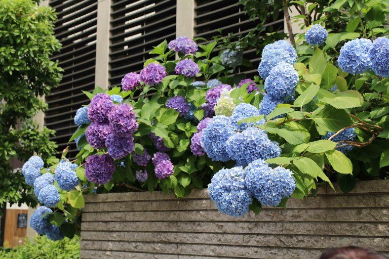 回程時還有幸見到燦爛的繡球花。