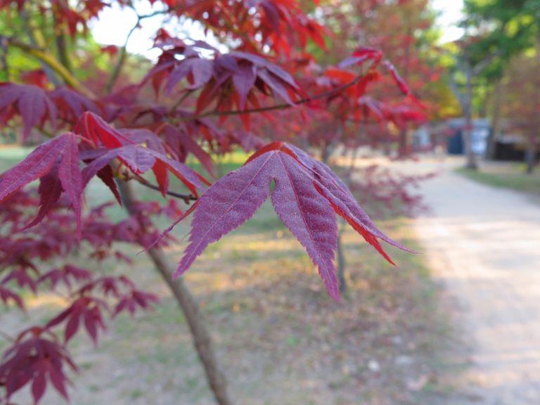 首爾自由行-韓國自由行-韓國旅遊-首爾景點-韓國機票-春天快過,想不到還有零星染紅的楓葉