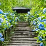 東京自由行-鎌倉-繡球花-明月院