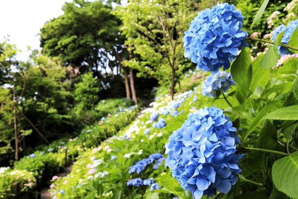 東京自由行-鎌倉-繡球花-長谷寺1