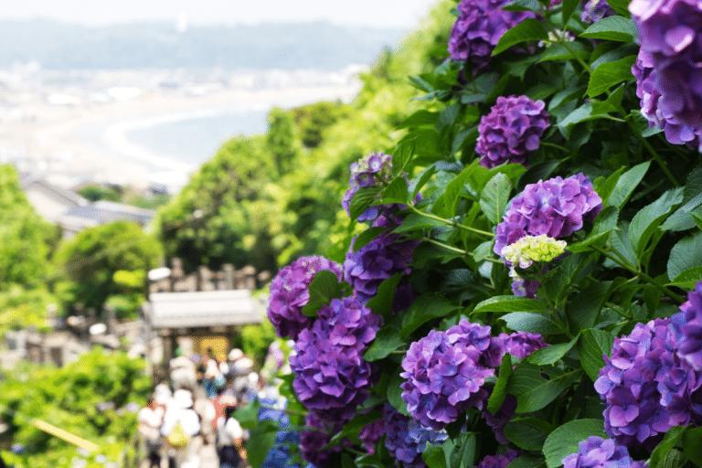 東京自由行-鎌倉-繡球花-成就院