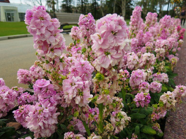 九州自由行-鹿兒島自由行-日本機加酒-日南天氣好,花都開得特別靚