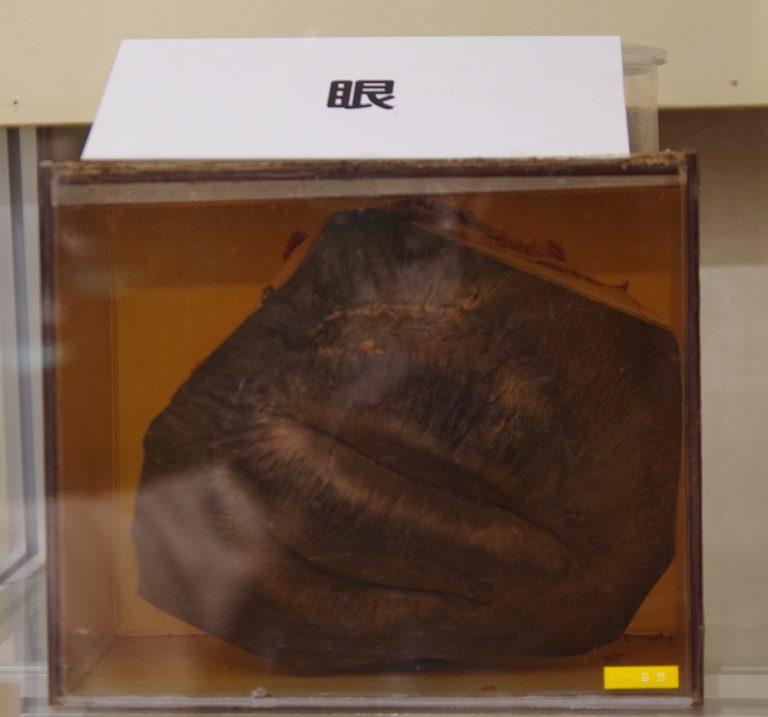 大阪自由行-大阪景點-鯨魚器官標本