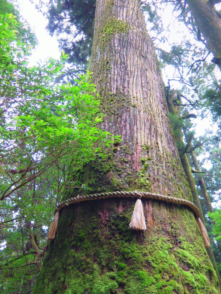 東京自由行-東京必去-東京景點-東京旅遊-巨大的古樹,彷彿走進電影哪啊哪啊~神去村的世界