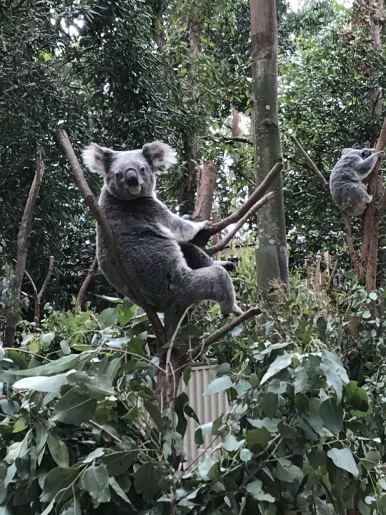 抱抱樹熊-澳洲旅遊-澳洲自由行