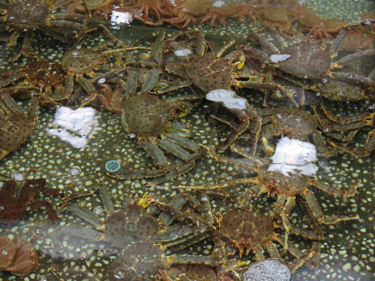 北海道自由行-北海道旅遊-北海道旅遊景點-滿是毛蟹、帝王蟹、長腳蟹的水池