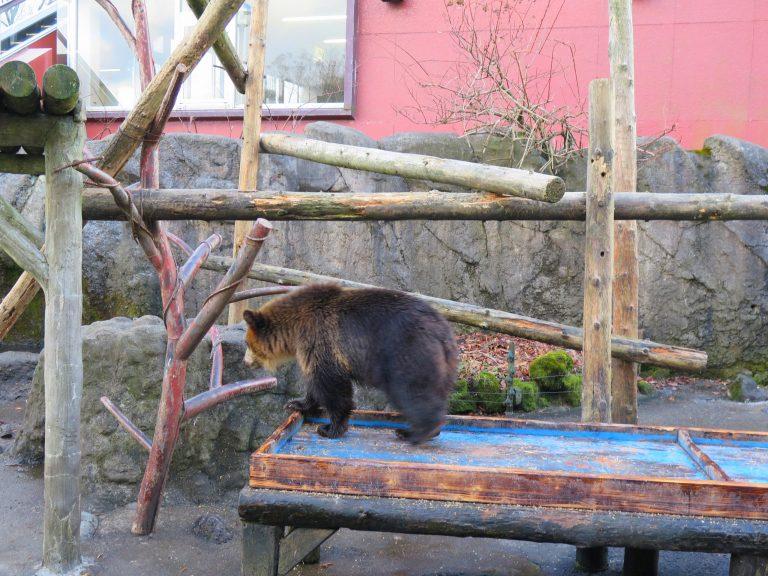 北海道自由行-北海道旅遊-北海道旅遊景點-熊BB在小園區內走來走去,非常活躍