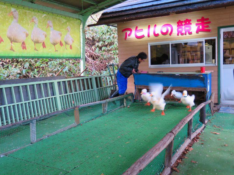 北海道自由行-北海道旅遊-北海道旅遊景點-工作人員一聲令下,一班鴨仔傾巢而出