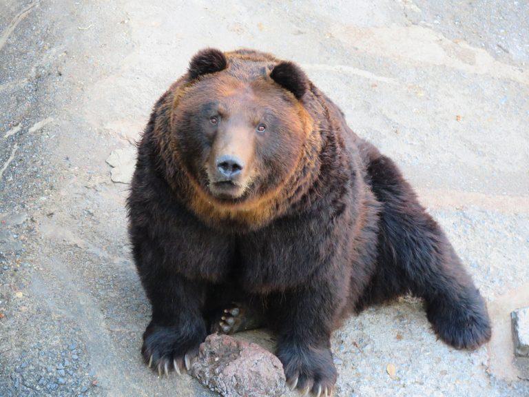 北海道自由行-北海道旅遊-北海道旅遊景點-棕熊身型龐大,但眼晴細小,感覺十分可愛