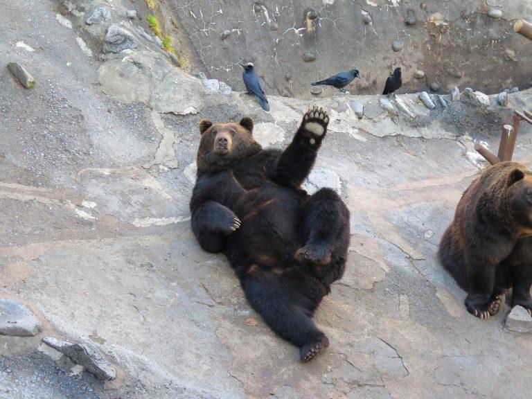 北海道自由行-北海道旅遊-北海道旅遊景點-棕熊非常聰明,知道我們手持著零食,立即起身爭取注意