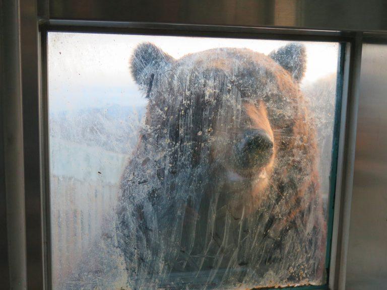 北海道自由行-北海道旅遊-北海道旅遊景點-熊牧場旁邊有通道可走進近距離觀看棕熊,真的很健壯