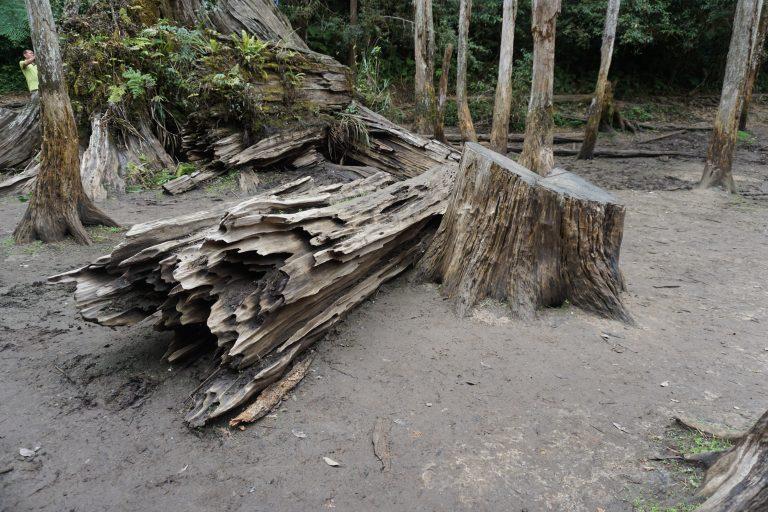 台中自由行-忘憂森林-樹