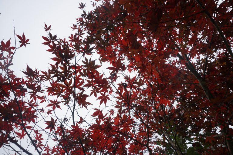 台中自由行-杉林溪-紅葉