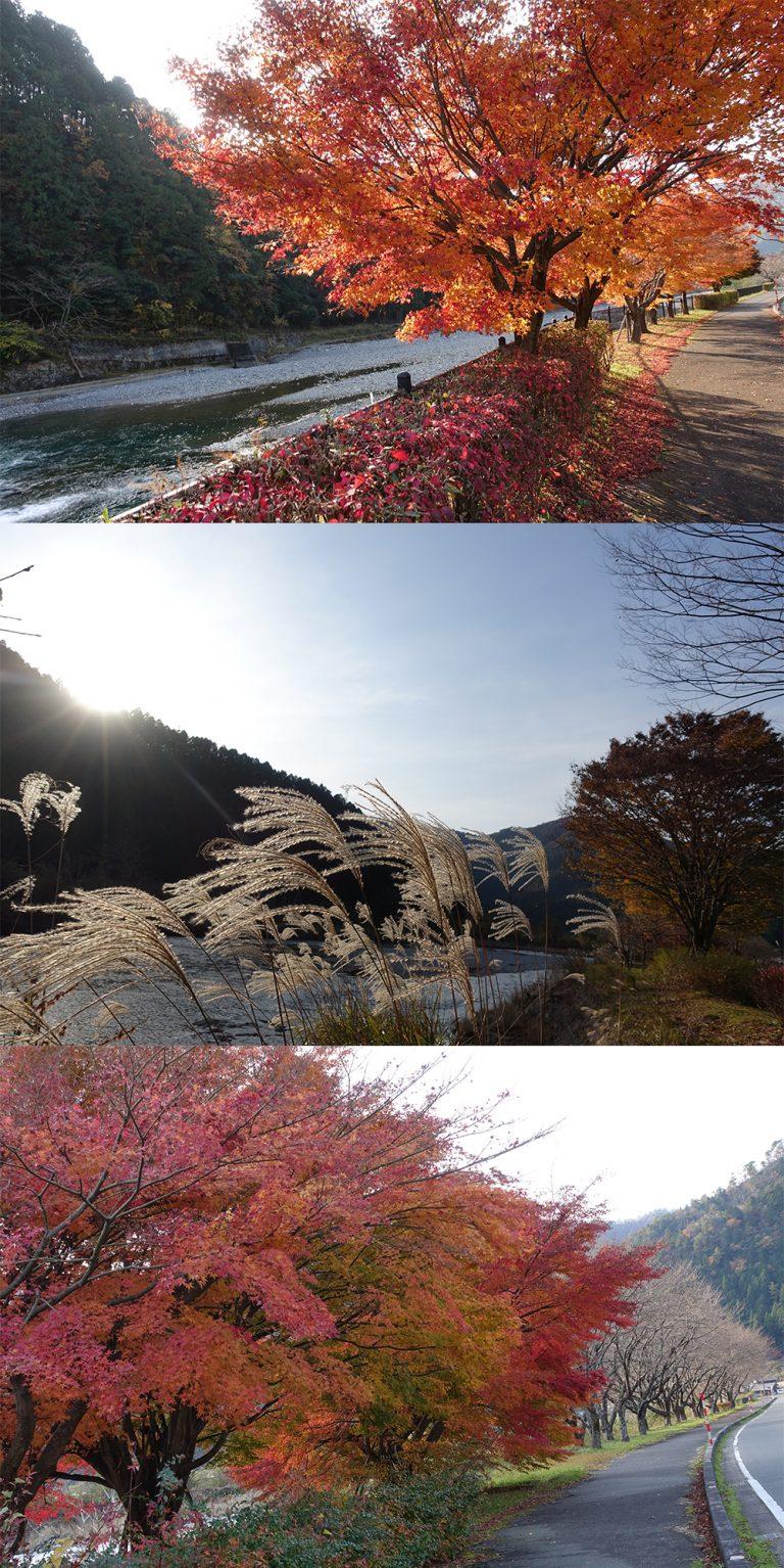 京都自由行-京都景點-紅葉和芒草