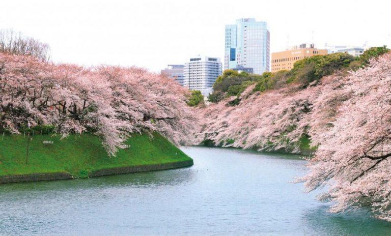 【東京賞櫻半日遊】上野公園・千鳥淵櫻花街道