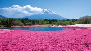 【東京賞櫻一日遊】富士山芝櫻季・五合目・草莓吃到飽