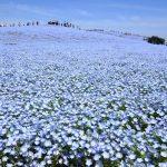 東京旅遊!去茨城的日立海濱公園看花吧!