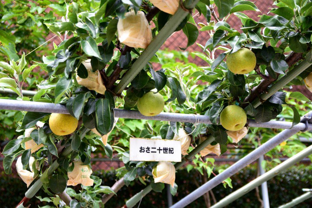 鳥取自由行-供遊人試食的梨來自紀念館內的果園