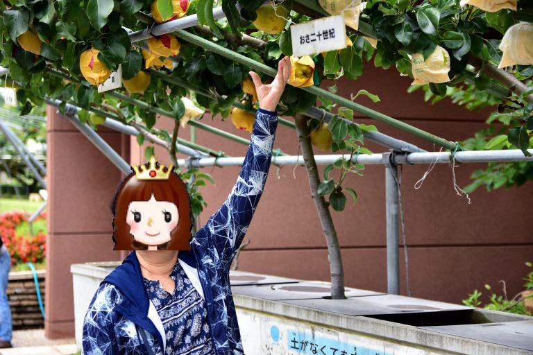 鳥取自由行-只需¥500,你便可親手採摘3個梨子
