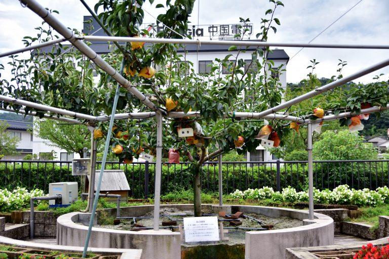 鳥取自由行-園區內的梨子由金屬架支撐著,鞏固梨樹,讓每棵梨子可更全面地接觸到陽光