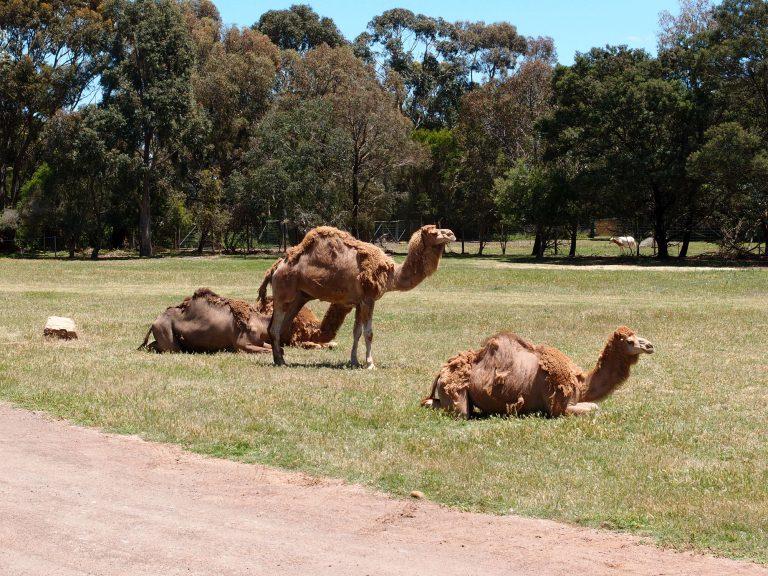 墨爾本景點-墨爾本自由行-melbournetour-懶洋洋的駱駝