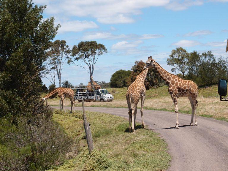 墨爾本景點-墨爾本自由行-melbournetour-Road Block!原來是長頸鹿!非洲郊野,當然是動物優先