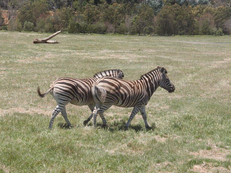 墨爾本景點-墨爾本自由行-melbournetour-這兩匹斑馬好像有點矮小