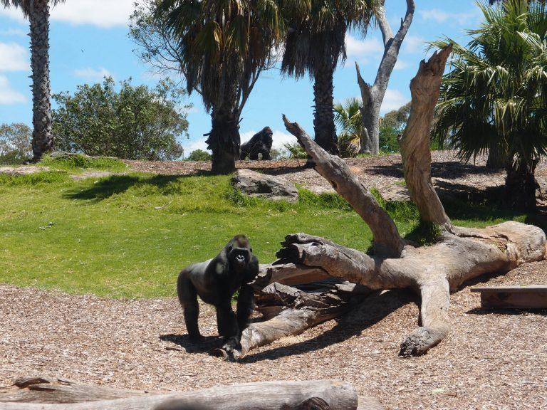 墨爾本景點-墨爾本自由行-melbournetour-這裡還有罕見的森林之王 – King Kong