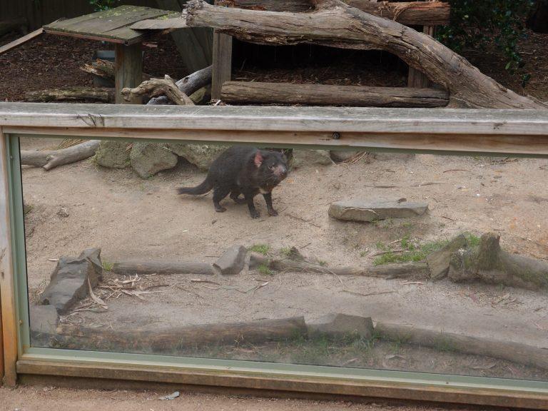 墨爾本景點-墨爾本自由行-melbournetour-來自塔斯曼尼亞的袋獾樣子雖然可愛,但遇到牠定必要小心,因為牠是兇猛的肉食性動物