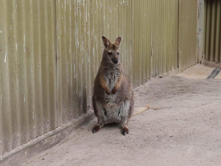 墨爾本景點-墨爾本自由行-melbournetour-可愛的小袋鼠,正在等遊客餵食