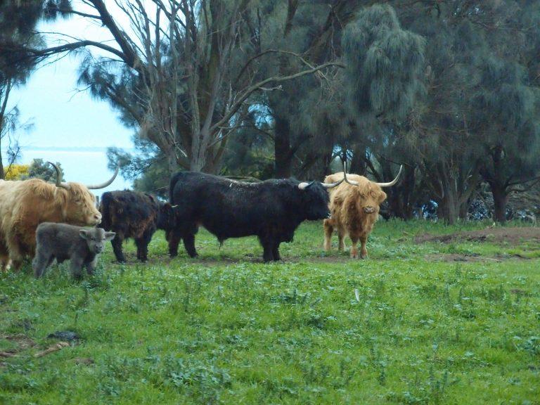 墨爾本景點-墨爾本自由行-melbournetour-被毛髮蓋著眼的高地犛牛令我想起我到蘇格蘭愛丁堡的畢業之旅