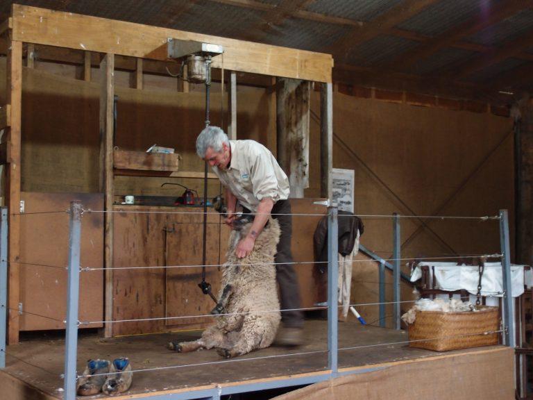 墨爾本景點-墨爾本自由行-melbournetour-最受歡迎的剪羊毛Show
