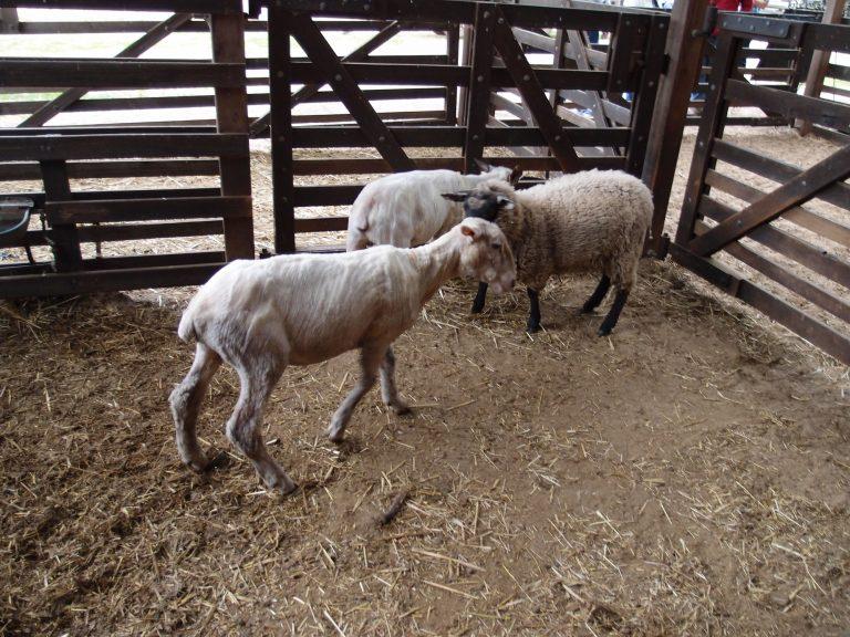 墨爾本景點-墨爾本自由行-melbournetour-不消一會,羊咩的毛就被剃清光,滿場掌聲如雷,十分精彩