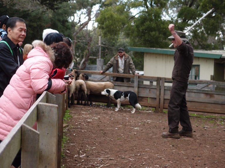 墨爾本景點-墨爾本自由行-melbournetour-牧羊犬訓練,羊咩被迫往死角,我見可憐
