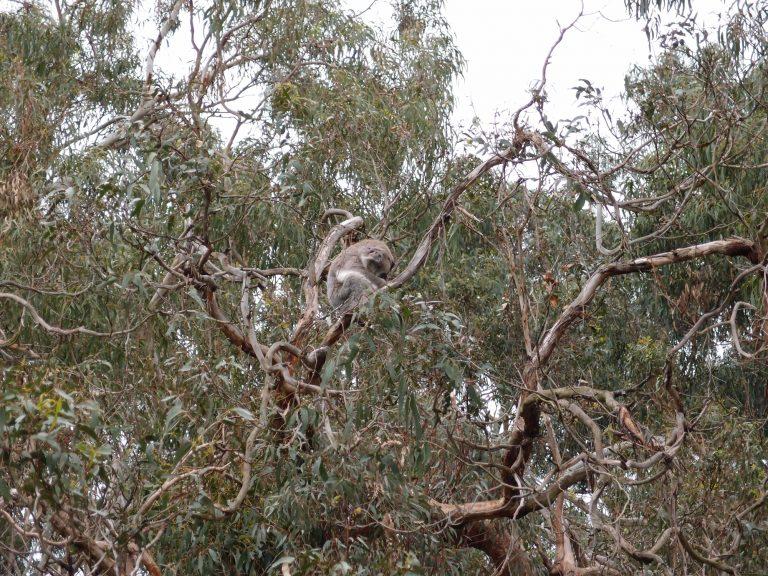 墨爾本景點-墨爾本自由行-melbournetour-找了一會終看到在樹上睡覺的樹熊