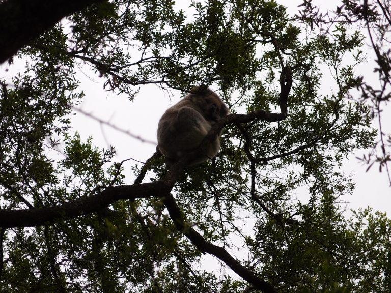 墨爾本景點-墨爾本自由行-melbournetour-樹熊屬於夜行動物,身體新陳代謝非常慢,每日需要睡17-20小時來消化食物,因此牠愛睡並不代表牠懶惰