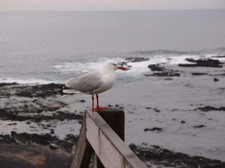 墨爾本景點-墨爾本自由行-melbournetour-未看到海獅先看到大量的海鷗