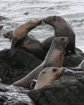 墨爾本景點-墨爾本自由行-melbournetour-這裡設有付費的望遠鏡,讓你近距離觀賞海獅的動態