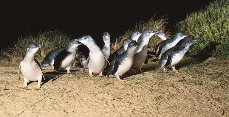 墨爾本景點-墨爾本自由行-melbournetour-過了大約半小時,第一批企鵝要上岸了!近距離看到傻頭傻氣、左搖右擺,像喝醉了的神仙企鵝,非常特別的體驗