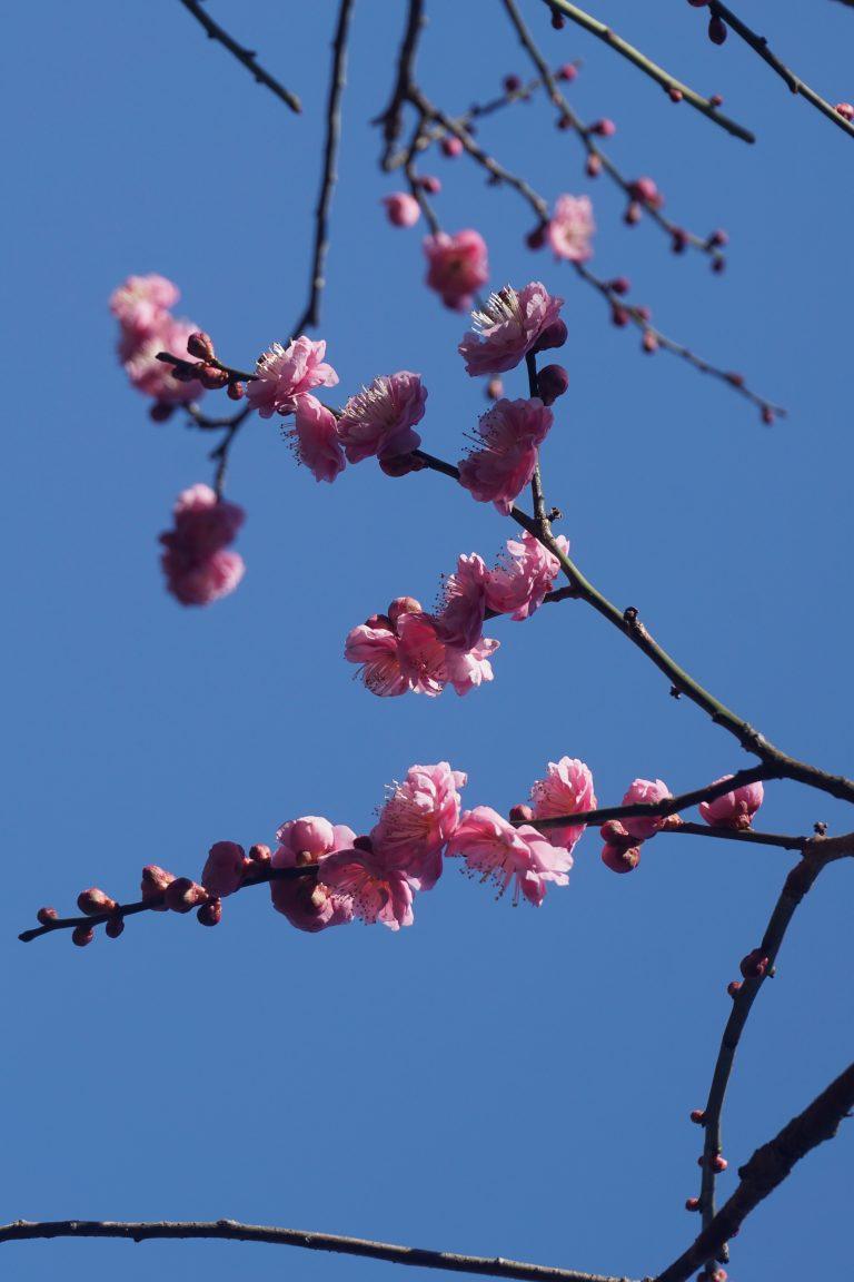sanyo-sanin-jr-pass-goflyla-yushien-plum-blossom