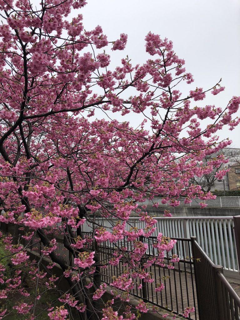 sakura-tokyo-goflyla