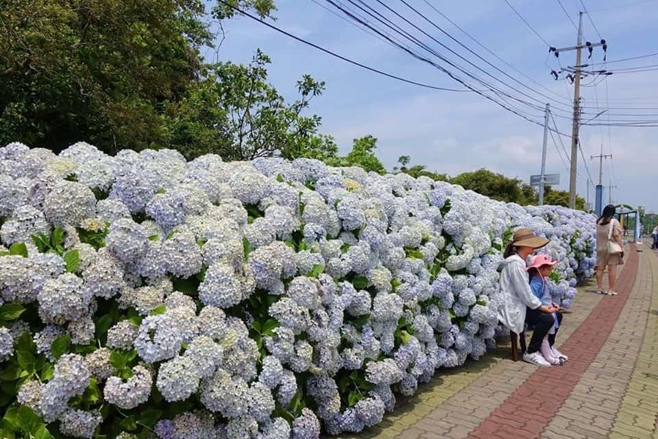 夏日限定!濟州8個繡球花景點大集合